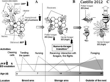 Polyéthisme chez les abeilles