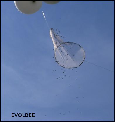 Comète de mâles attirés par un leurre imbibé de QMP envoyé dans une congrégation à l'aide de ballons d'hélium