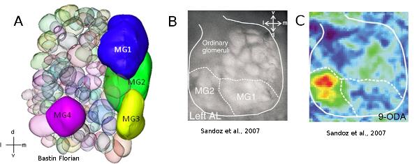 : Représentation et activité calcique du lobe antennaire de mâle