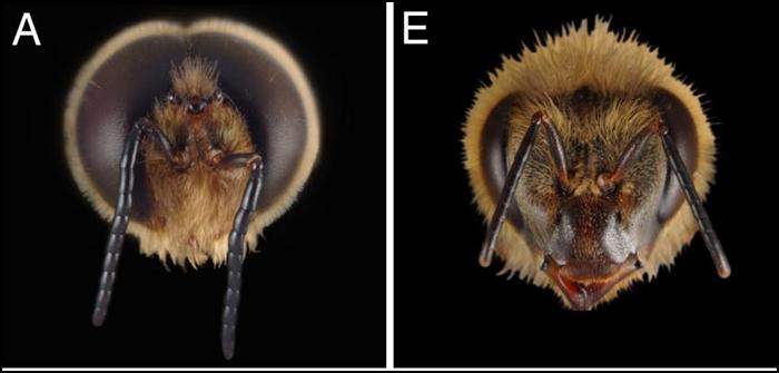 Différences anatomiques de la tête des castes d'abeilles. Les yeux des mâles d'abeilles