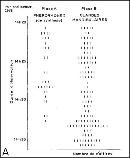 Expérience d'attraction des glandes mandibulaires de reines sur les mâles en congrégation