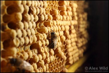 Cellule de mâles d' abeilles